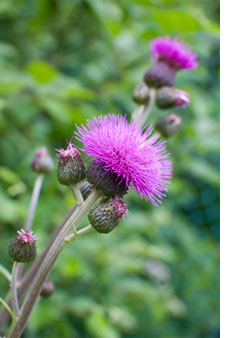 Photo of a Thistle